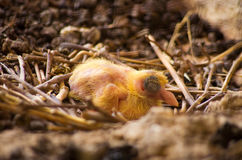 Цыпленок голубя в гнезде стоковое фото