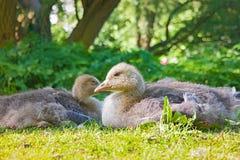 Цыпленок гусыни Greylag Стоковое Изображение