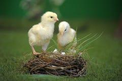 Цыпленок 2 и гнездй стоковое фото