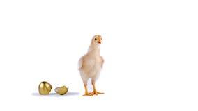 цыпленок и золотое яичко в студии против белой предпосылки стоковая фотография