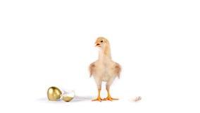 цыпленок и золотое яичко в студии против белой предпосылки стоковая фотография rf