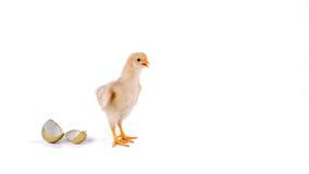цыпленок и золотое яичко в студии против белой предпосылки стоковые изображения