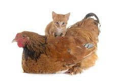 Цыпленок и котенок Brahma стоковое изображение rf