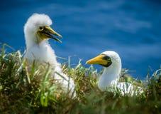 Цыпленок и мама олуха Острова Норфолк стоковое изображение rf