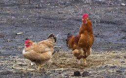 Цыпленок и петух имбиря Стоковое Фото