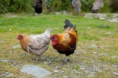 Цыпленок и петушок стоковое изображение rf