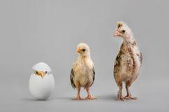 Цыпленок и яичко Стоковые Фото