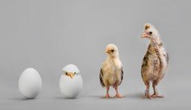 Цыпленок и яичко Стоковое Изображение