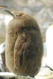 Цыпленок короля пингвина с сериями пуховых пер стоковое изображение rf