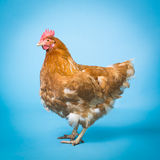 Цыпленок (курица) Стоковое Изображение RF