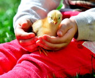 цыпленок малый Стоковые Фотографии RF