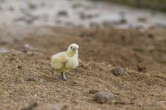 цыпленок милый стоковые изображения rf