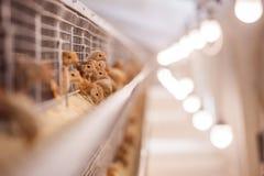 Цыпленок младенца в птицеферме стоковые фото