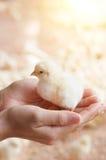 Цыпленок младенца в руке Стоковое фото RF