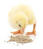 цыпленок младенца имея еду стоковое изображение