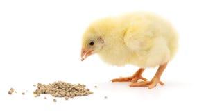 цыпленок младенца имея еду стоковое фото
