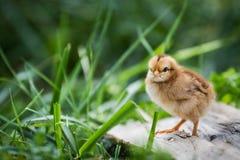 Цыпленок младенца стоя в траве Стоковое Изображение RF