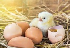 Цыпленок младенца с сломленным eggshell в гнезде соломы Стоковая Фотография RF