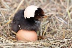 Цыпленок младенца с сломленным eggshell в гнезде соломы Стоковое Фото