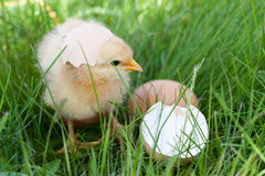 Цыпленок младенца с сломленным eggshell и яичко в зеленой траве Стоковое Фото