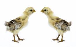 Цыпленок младенца Стоковые Фото