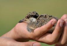 Цыпленок младенца Lapwing в руке Стоковые Изображения RF