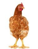 Цыпленок на белой предпосылке, объекте, одном животном крупного плана стоковые изображения rf