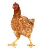 Цыпленок на белой предпосылке, объекте, одном животном крупного плана стоковая фотография rf