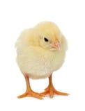 Цыпленок на белой предпосылке стоковое фото
