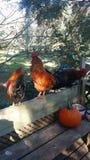 Цыпленок на крылечке Стоковые Изображения