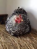 Цыпленок на связке сена Стоковое Изображение RF
