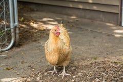 Цыпленок на ферме в Иллинойсе Стоковое Изображение RF
