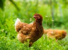 Цыпленок на ферме стоковое фото rf