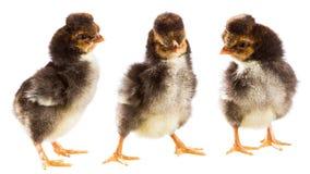 цыпленок немногая 3 Стоковые Изображения