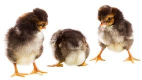 цыпленок немногая 3 Стоковое Изображение RF