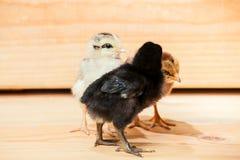 цыпленок немногая 3 Стоковые Фотографии RF