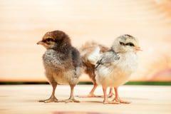 цыпленок немногая 3 Стоковая Фотография RF