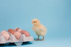 Цыпленок дня старый стоит с коробкой яичка вполне коричневых яичек дальше Стоковое Изображение RF