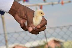 Цыпленок дня старый чувствительно держал в руке против запачканной предпосылки Стоковое Изображение