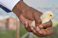 Цыпленок дня старый чувствительно держал в руке против запачканной предпосылки Стоковая Фотография