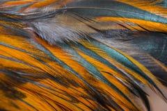 цыпленок пера Стоковая Фотография