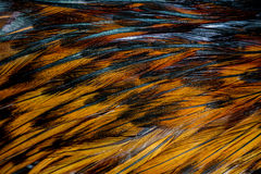 цыпленок пера Стоковая Фотография RF