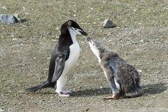 Цыпленок пингвина Chinstrap подавая Стоковое Фото
