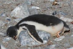 Цыпленок пингвина Gentoo лежа на утесе Стоковое Изображение RF
