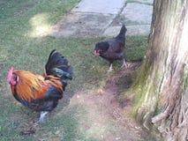 Цыпленок после за цыпленком стоковые фотографии rf