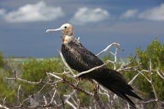 Цыпленок подростка птицы фрегата стоковые изображения rf