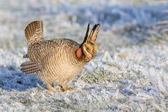 Цыпленок прерии в шалфее после шторма льда Стоковые Изображения