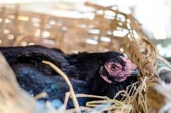 цыпленок предпосылки насиживая вектор силуэтов Стоковые Изображения RF