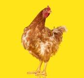 Цыпленок представляя на желтой изолированной предпосылке, одном животном крупного плана стоковое изображение rf