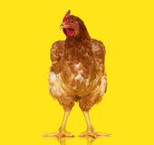 Цыпленок представляя на желтой изолированной предпосылке, одном животном крупного плана стоковая фотография